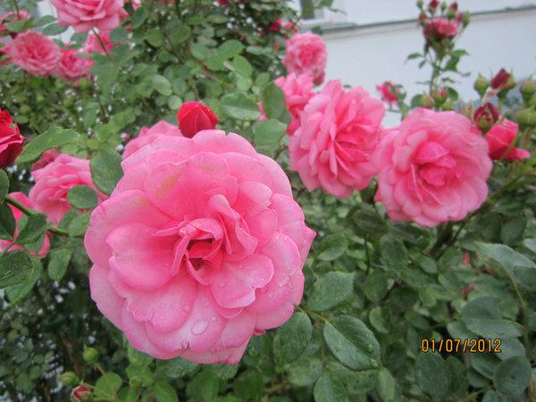 Розы и бутоны.jpg