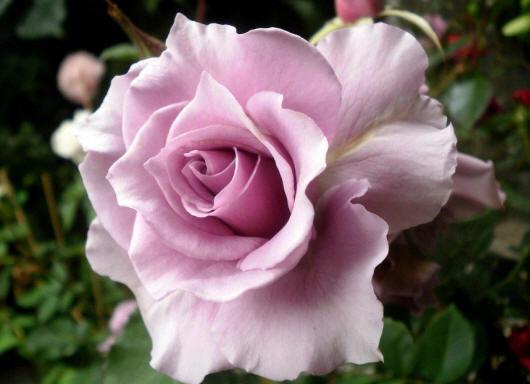 roza176_small.jpg